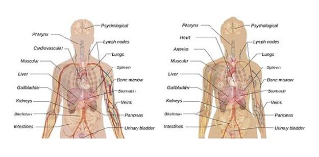 人間の内臓